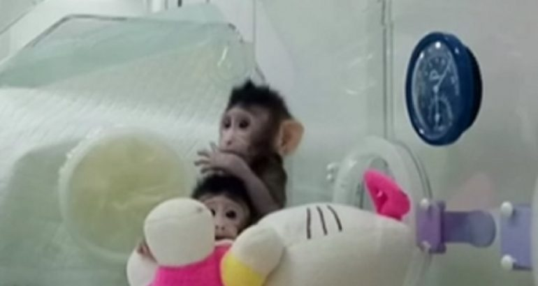 Жонг и Хуа првите клонирани мајмуни, еве како изгледаат тие