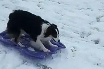 Ова слатко куче знае како да се забавува на снегот. (ВИДЕО)