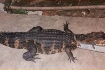 Спремала освета 3 години: Баба убила алигатор од 250 килограми