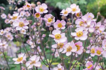 3 најубави есенски цвеќиња за балкон или градина: На студ и без сонце цветаат како луди! (ФОТО)